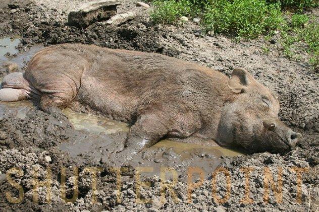 839408-Pig-Sleeping-In-Mud_view