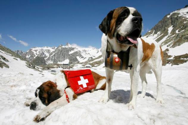 Saint Bernard dogs sit on snow after their arrival at Great Saint Bernard mountain pass