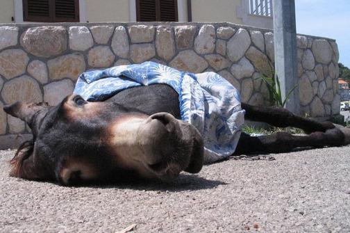 mrtav-magarac