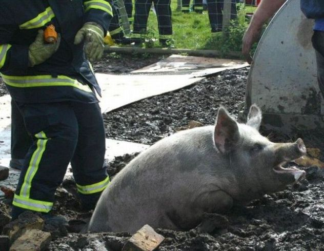 Fire crews save pig's bacon