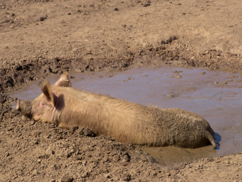 Happy Pig Wallowing in Mud
