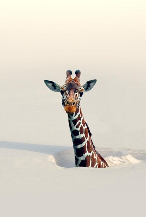 žiraf