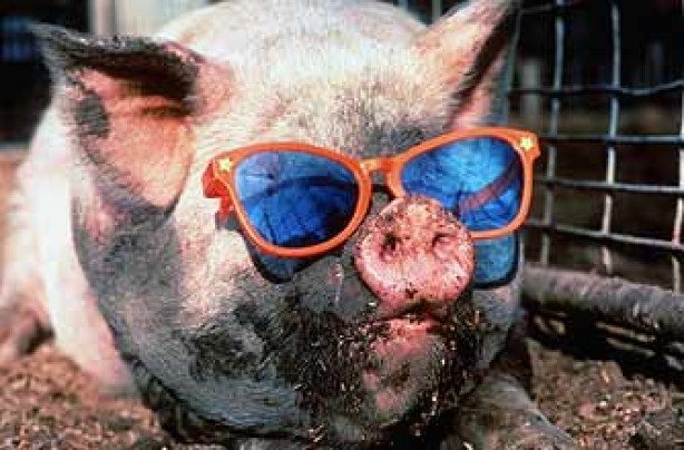 pig-wearing-sunglasses